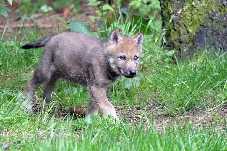 Der Wildpark Eekholt freut sich über einen Wolfswelpen!