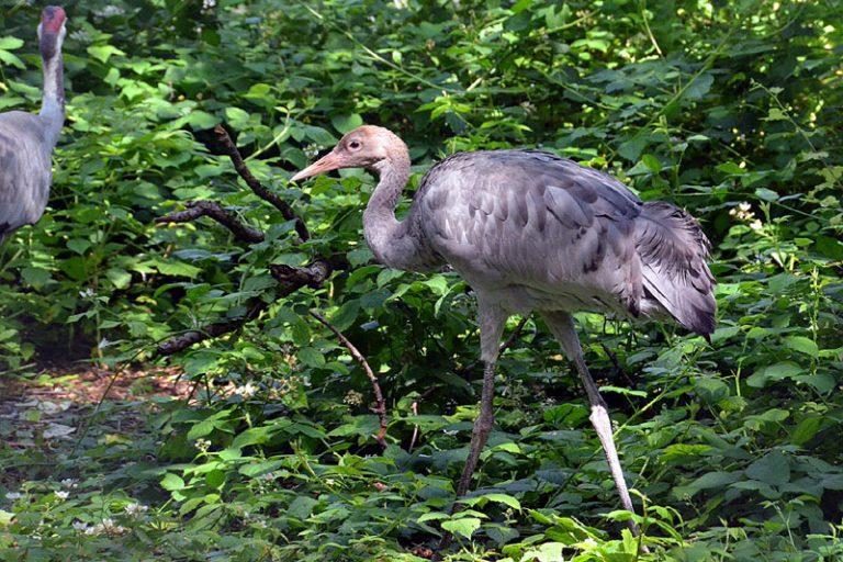 Ein Jungkranich wächst im Wildpark Eekholt heran!